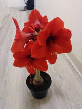 amaryllis flower indoorgarden