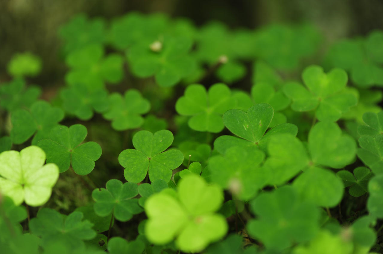 Four-leaf clover Wallpaper by