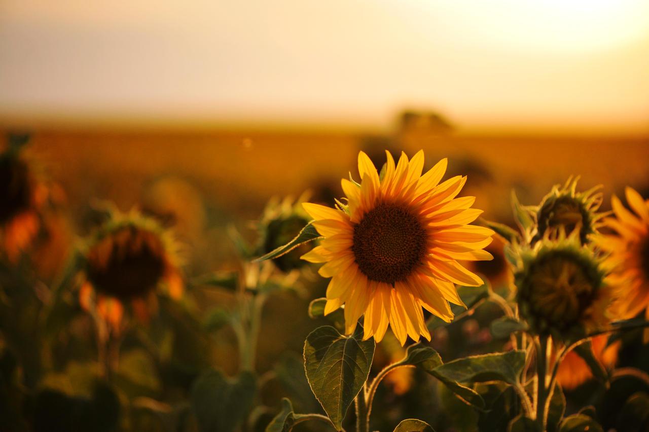 Sunflower and sunset by pohlmannmark on DeviantArt