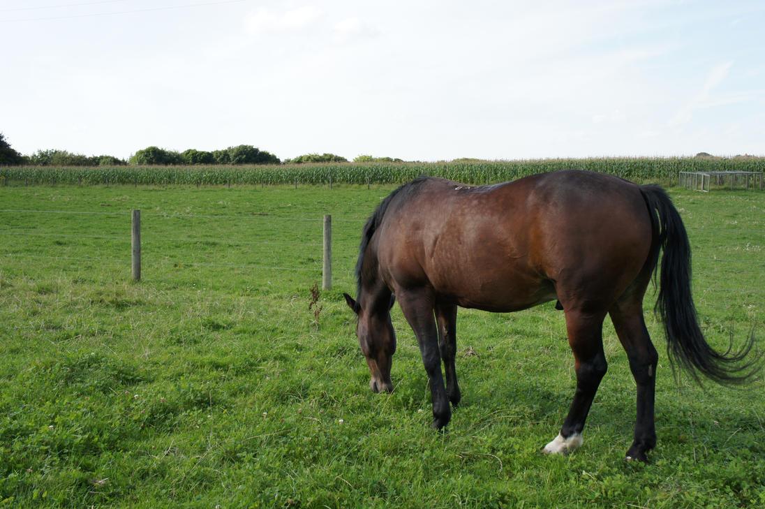 2stock dark bay horse. by SeasideMinuet on DeviantArt  Dark