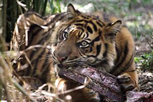 Tiger8 by Sabbie89