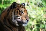 Sumatran tiger 3