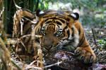 Sumatran Tiger - This is mine