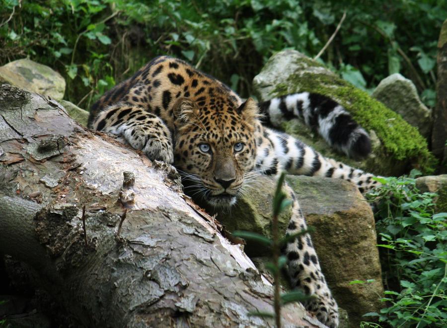 Amur Leopard 11 by Sabbie89