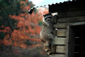 Raccoon by Sabbie89