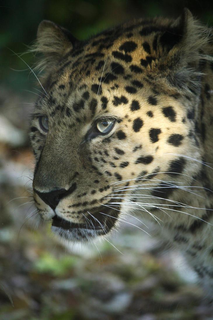 Amur Leopard 12 by Sabbie89