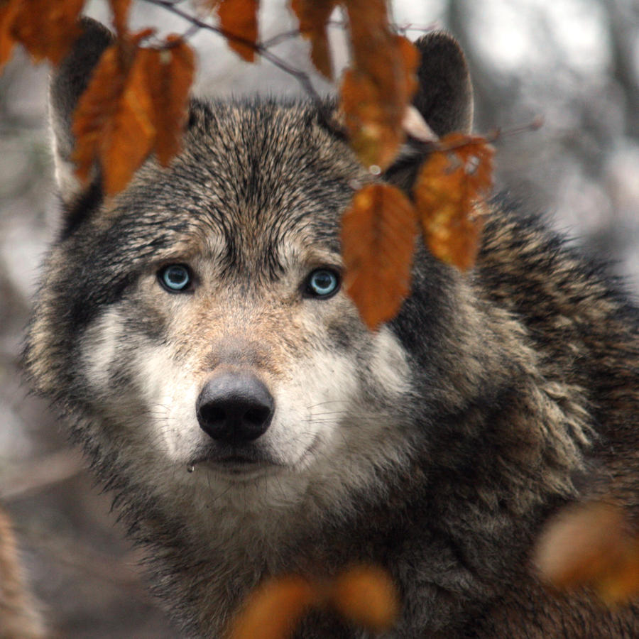 Black wolf with blue eyes drawing - photo#27