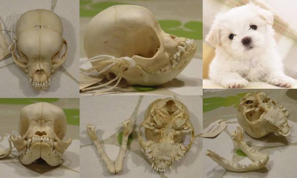 West Highland white terrier pup skull