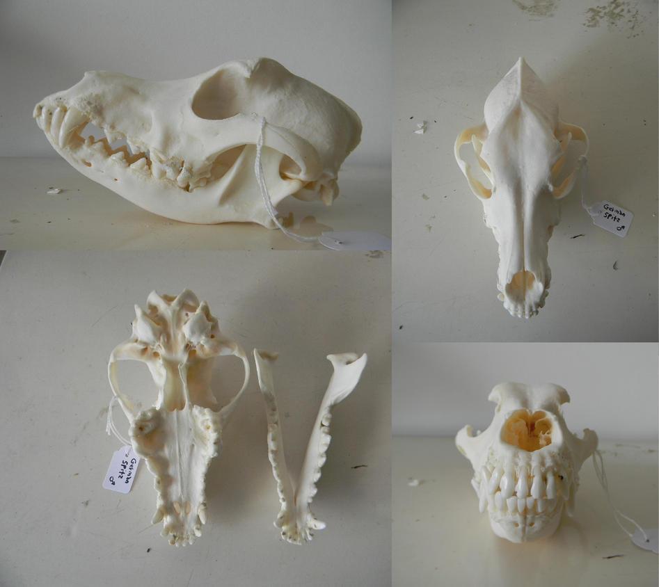 Chien Finnois de Laponie ou Lapinkoïra - Page 3 German_spitz_skull_for_sale_by_myskullcabinet-dak65bk