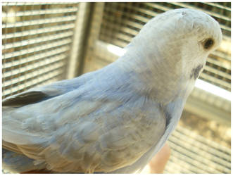 Opaline and grey 120