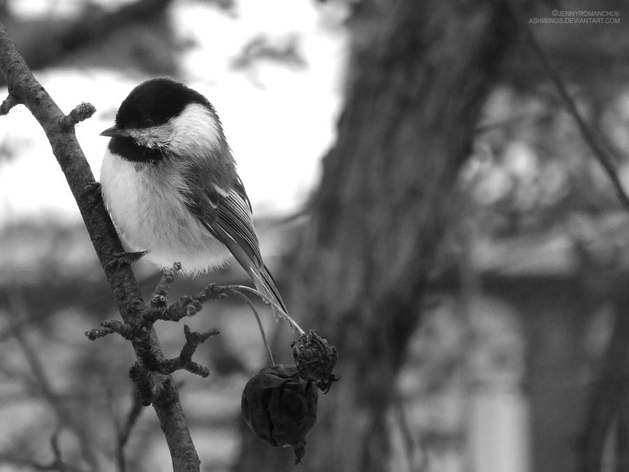 Chicka-dee-dee-dee by Ashwings