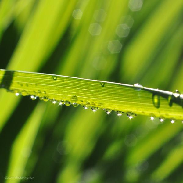 Dewblade by Ashwings