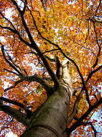 autumn tree by Isisnofret