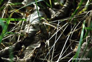 Frog by BenThijs