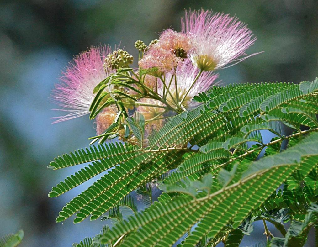Silk Tree Flower By Aurora Sporkyalis On Deviantart