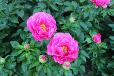 Pink peonies by lschroeppel