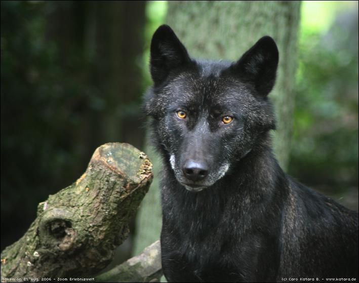 Black Wolf by kataviech