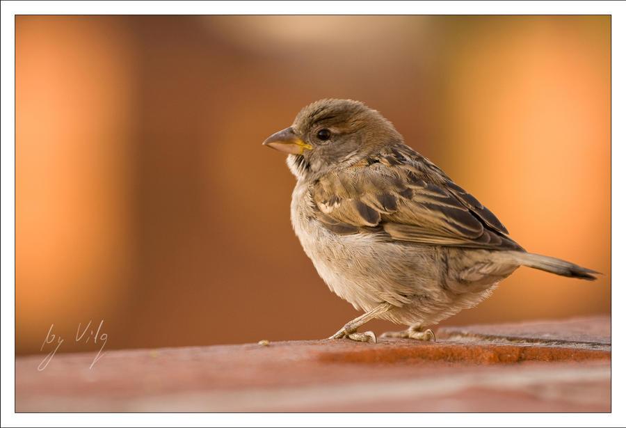 Little Sparrow by Vilq