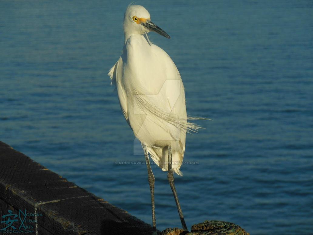 Egret on Oceanside Pier by NodokaVisualArts
