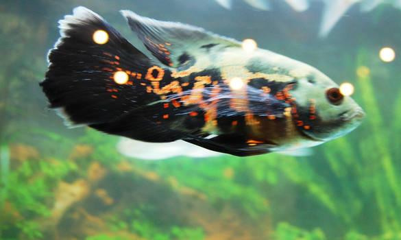 Allaaaa Fish 2