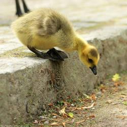 be gutsy gosling by hoschie
