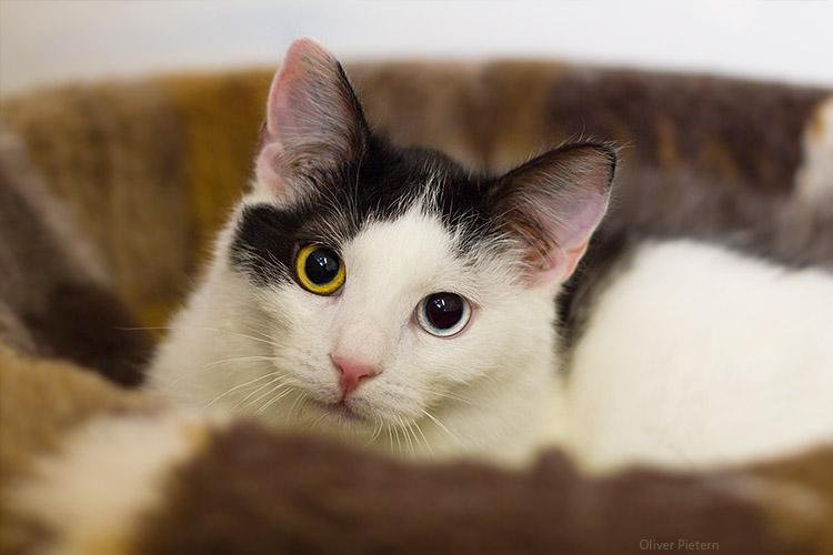 heterochromia eyes by hoschie