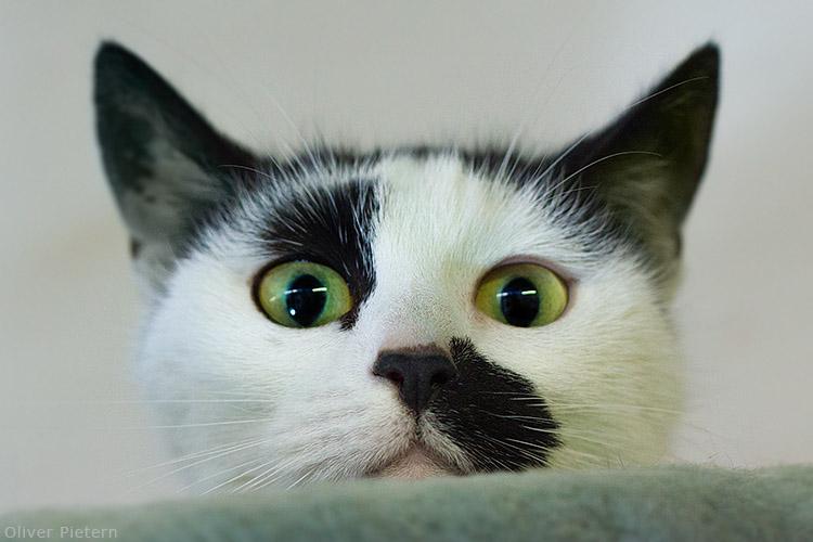 Stalker cat by hoschie