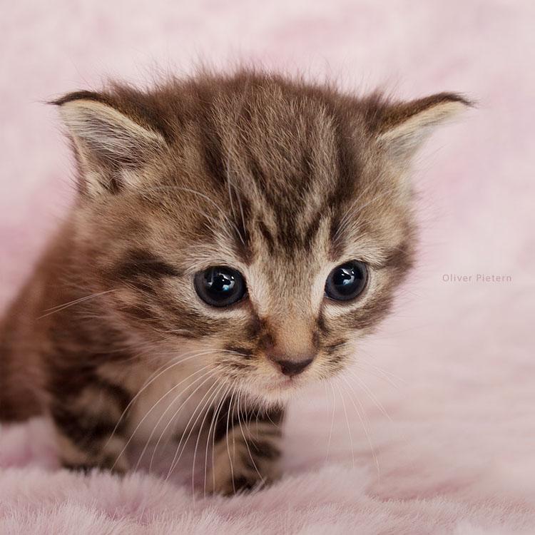 Kitty in fluffyland III by hoschie