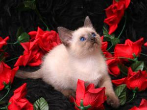 cavalier of roses
