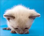 Big-head kitten
