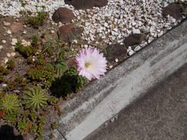 Pink Cactus Flower 3 by BlackeyeI