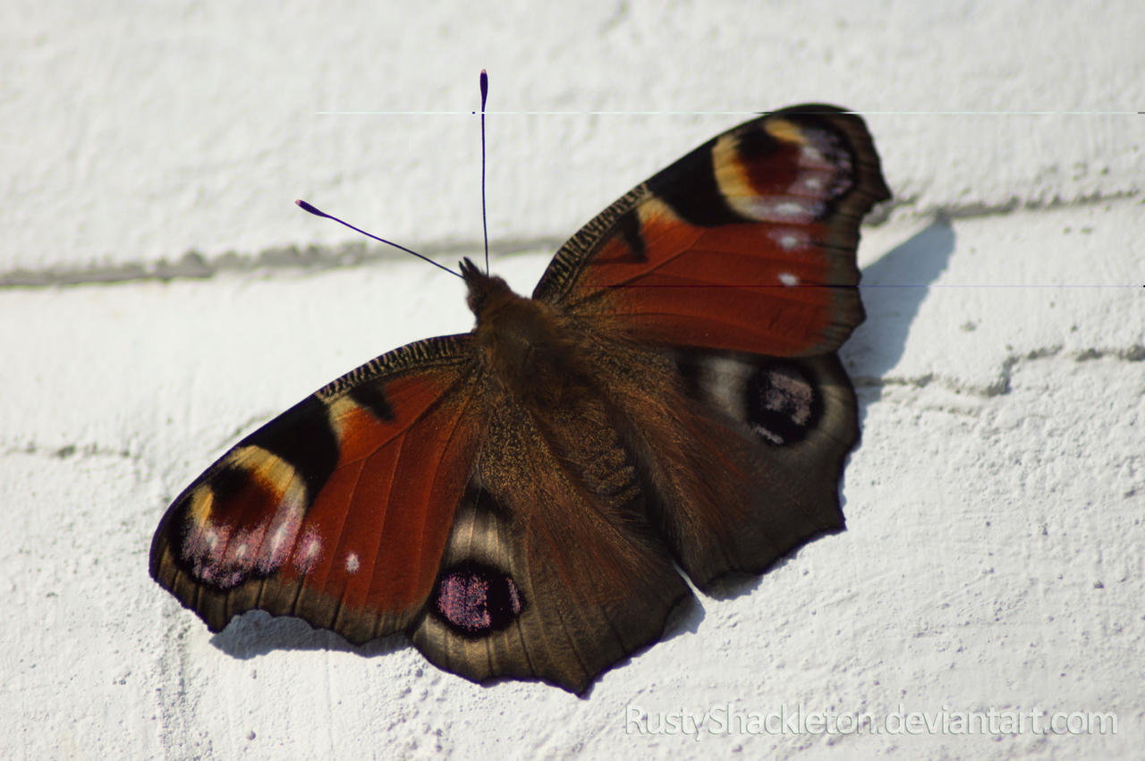 Peacock Butterfly by ~ RustyShackleton #5F3829