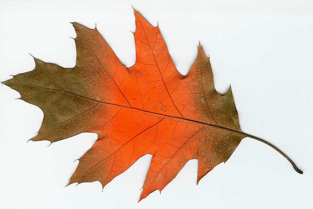 Orange Leaf By Darkpixiefaery On Deviantart