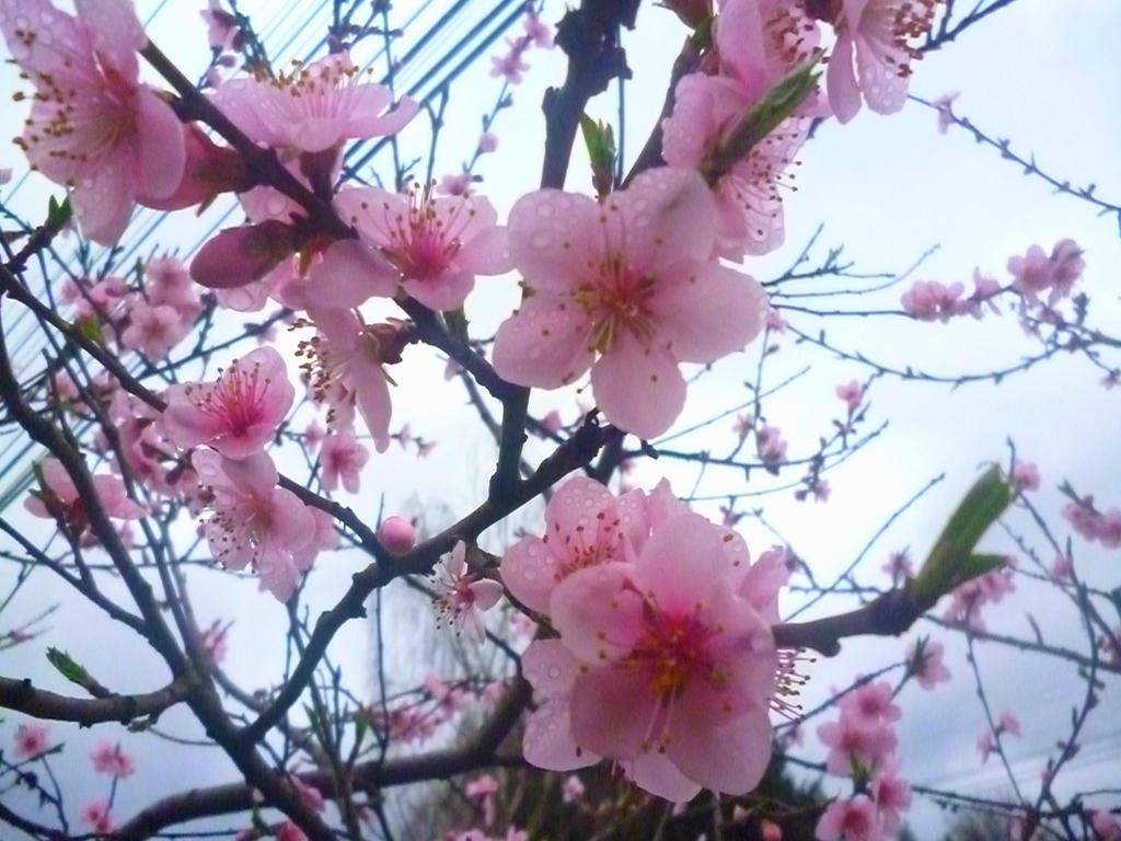 Olor de flores arbol de cerezo by nayareth on deviantart - Arbol de rosas ...
