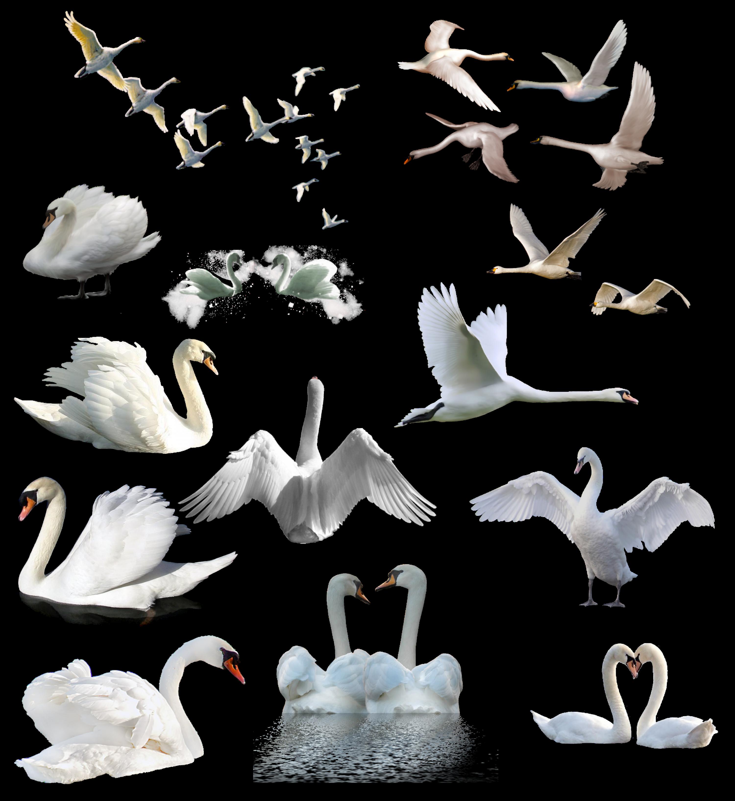 PNG Cisne White