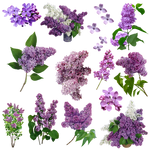 Flores Lilas PNG