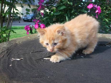 Orange Kitten Playing Stock