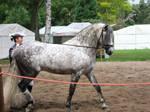 Dapple Grey Stallion Stock