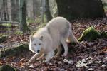White wolf playing full body Stock