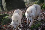 White wolves full Body Stock