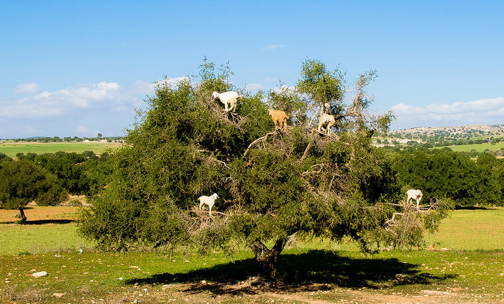 tree climbing goats in Morocco by demi2004