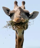 giraffe by demi2004