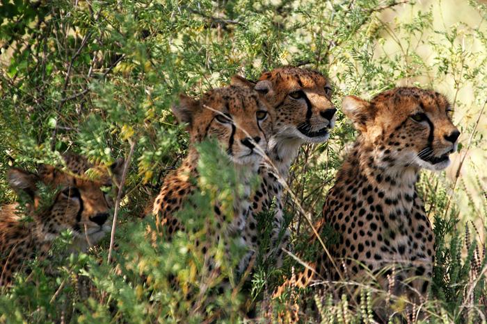 cheetahs by demi2004