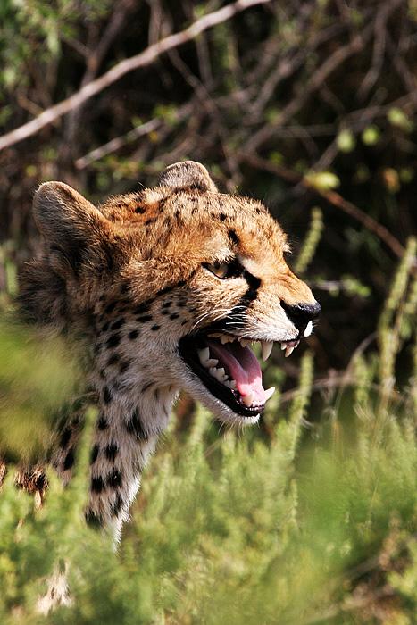angry baby cheetah - photo #1