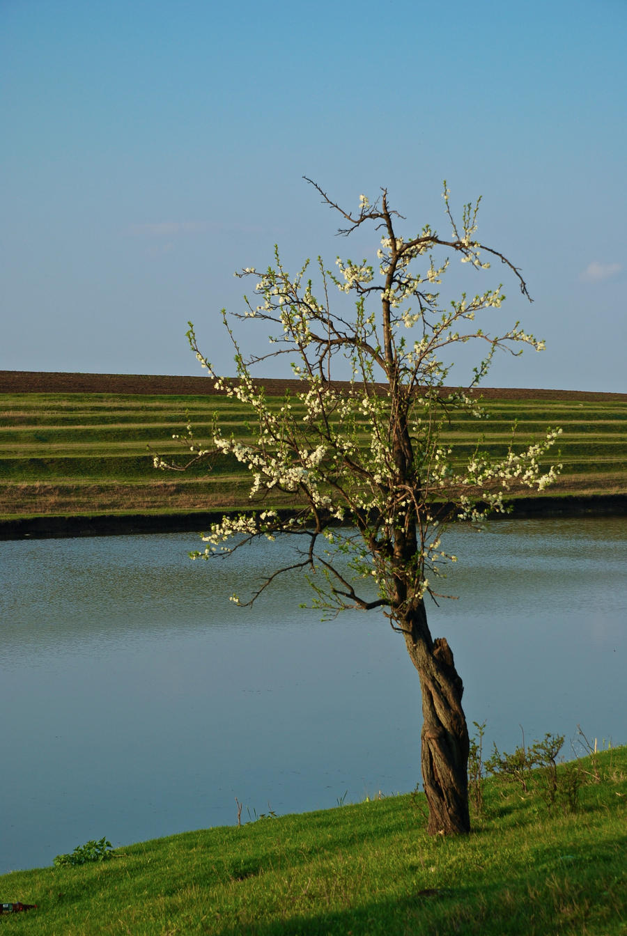 plum tree by tobitt