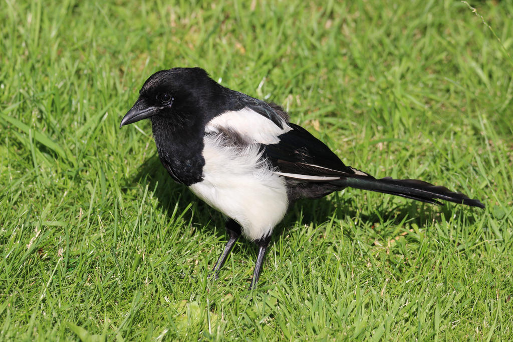 Young Magpie by Cederbom