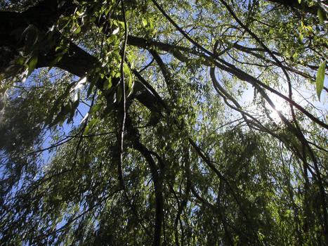 fresh willow