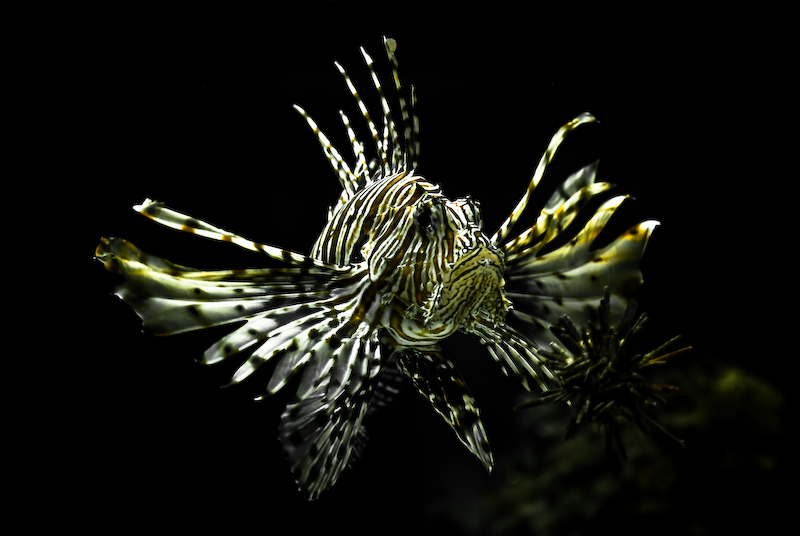 Dragonfish for Freshwater dragon fish