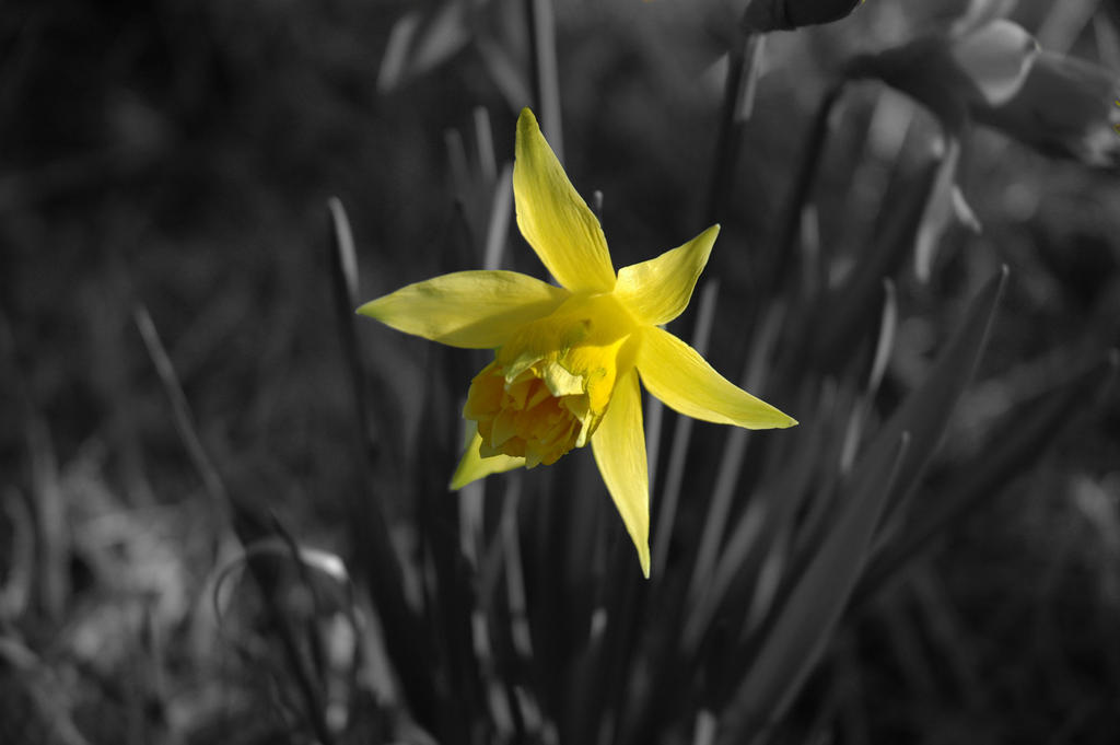 Black and white daffodil by Tigger91 on deviantART