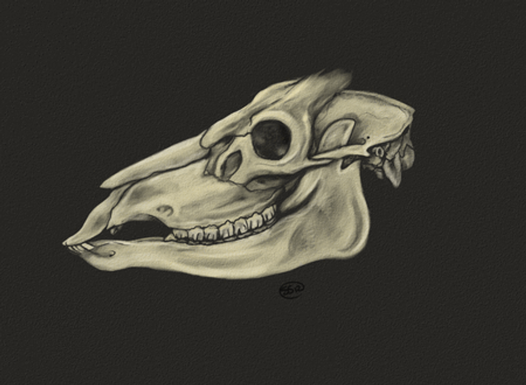 Deer Head Study by Kasaurus on DeviantArt
